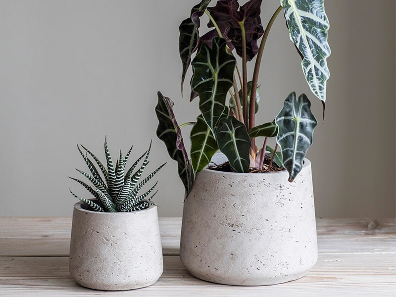 One larger and one smaller Stratton plant pot planted with dark green foilage
