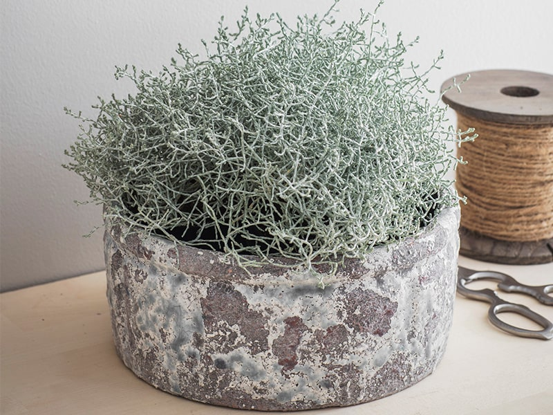 Large cracked glaze bowl filled with pale green foliage on the table with scissors
