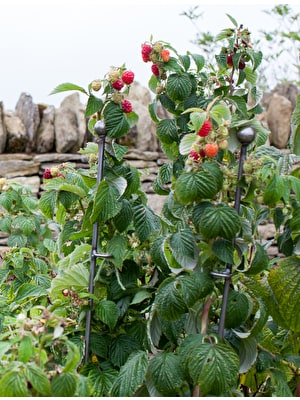 Set of 3 Barrington Raspberry Stakes