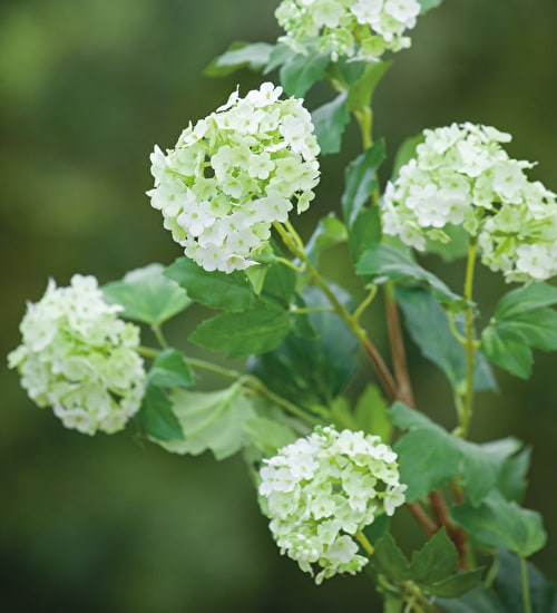 Viburnum Spray
