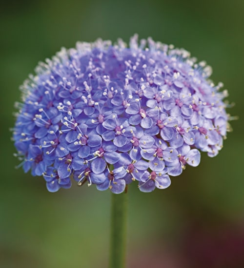 Didiscus 'Blue Lace'