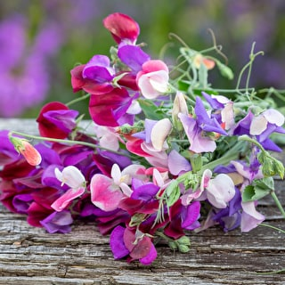 Bi-Colour Sweet Pea Collection