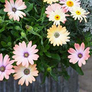 Osteospermum 'Serenity Rose Magic'