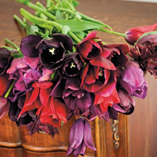 Sarah Raven Dark Tulip Collection