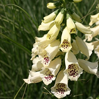 Digitalis 'Dalmatian Cream' F1 Hybrid