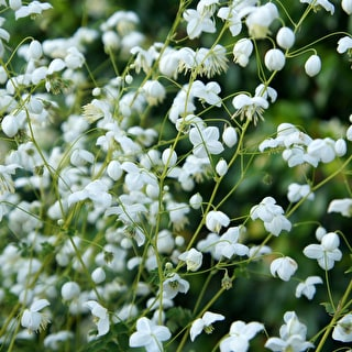 Thalictrum delavayi 'Splendide White'
