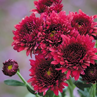 Chrysanthemum 'Smokey Purple'