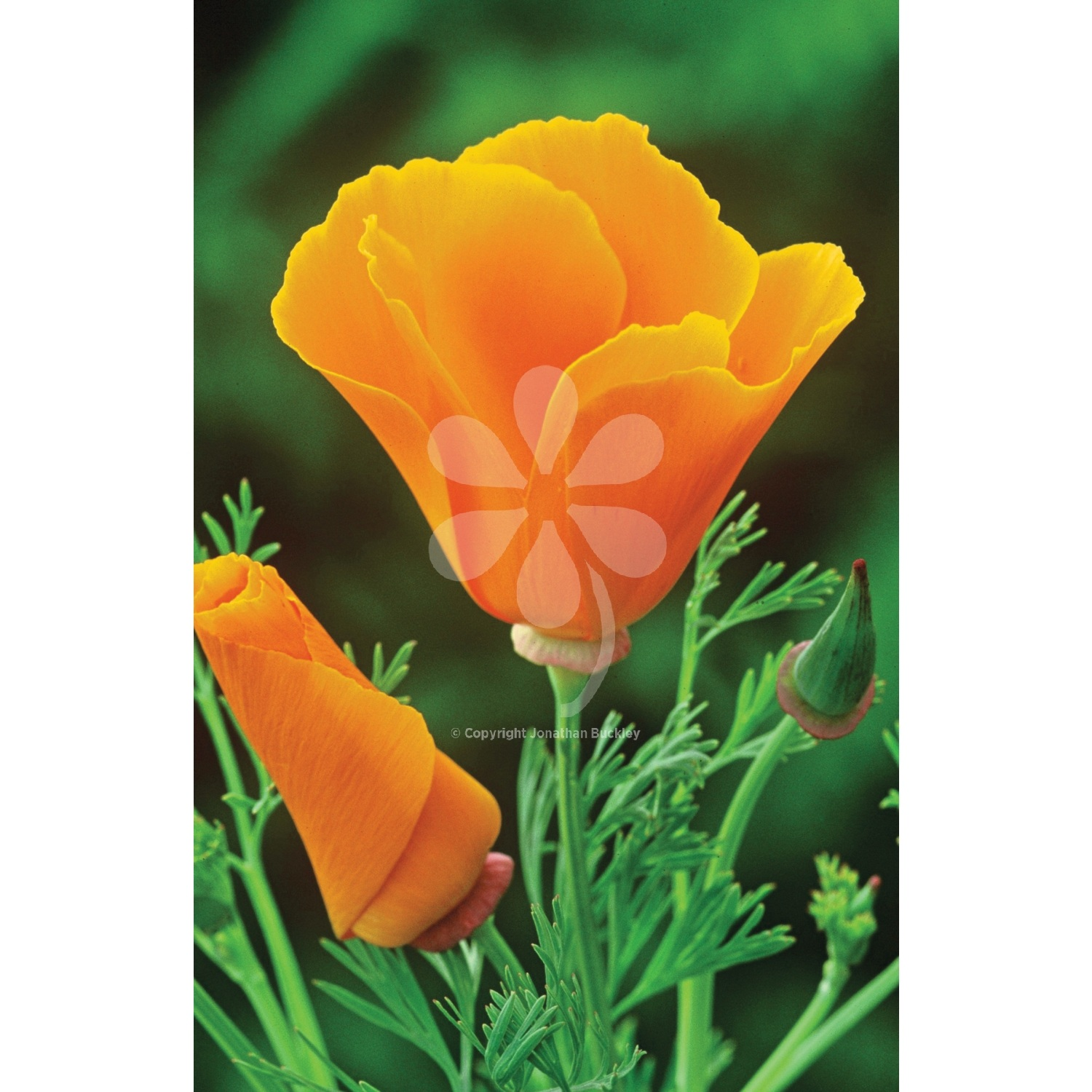 Eschscholzia californica orange king mightylinksfo