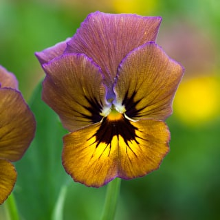 Viola 'Irish Molly'