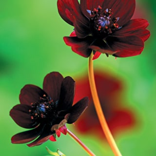 Cosmos atrosanguineus 'Chocolate'