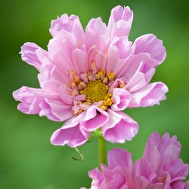 Cosmos 'Double Click Rose'