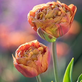 Tulip 'Brownie'