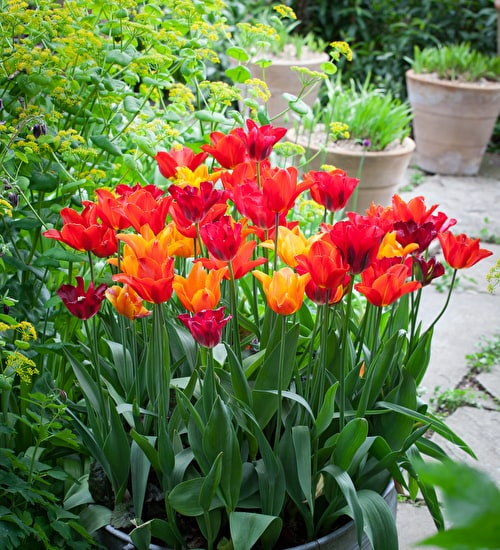 Scented Lily Flowered Tulip Collection