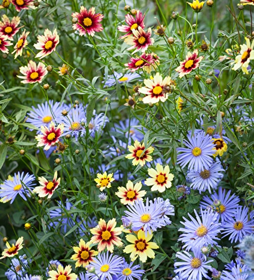 Aster and Coreopsis Collection
