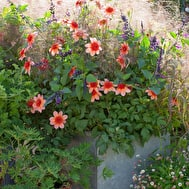 Dahlia, Salvia and Panicum Frosted Explosion Collection