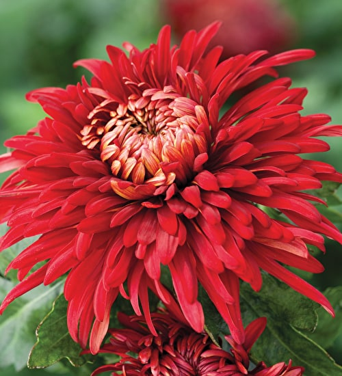 Chrysanthemum 'John Riley'