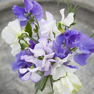 Clouds of Scent Sweet Pea Mix