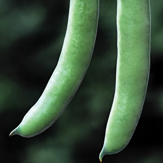 Broad Bean 'Stereo'