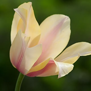 Tulip 'Blushing Lady'