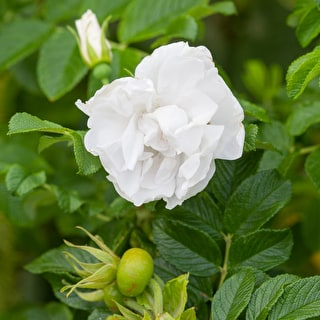 Rose 'Blanche Double de Coubert'