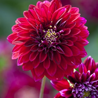 Dark Dahlias for Pots Collection