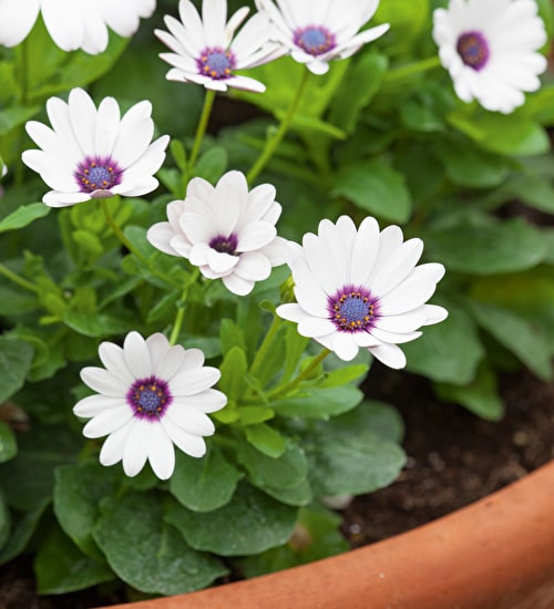 Osteospermum 'Akila White Purple Eye' F1