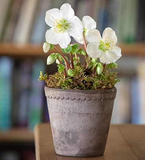 Hellebore in a Terracotta Pot