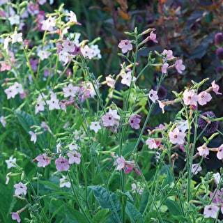 Nicotiana 'Whisper Mixed' F1