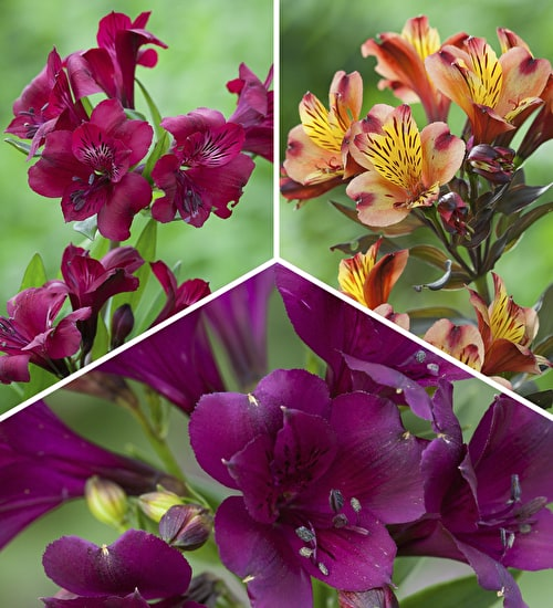 Dark and Rich Alstroemeria Collection