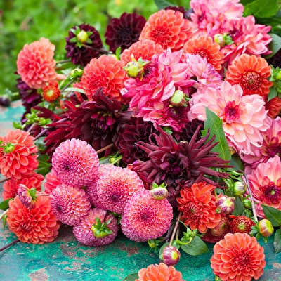 Cinnamon Spice Dahlia Collection