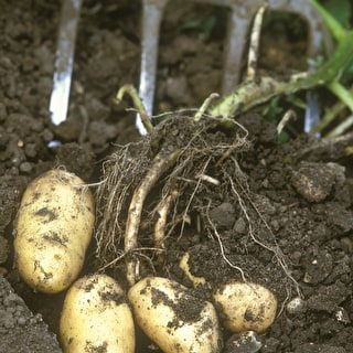 Potato 'Belle de Fontenay'