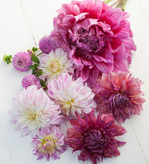 Flamboyant Dahlia Collection