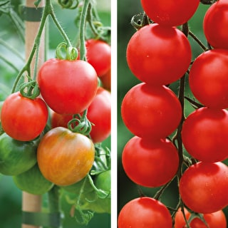 Tomato 'Gardener's Delight' and 'Stupicke Polni Raine' Collection