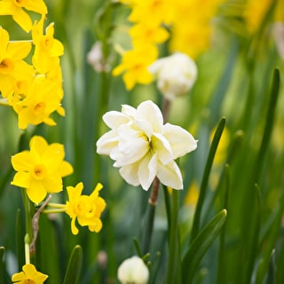 Successional Narcissus Collection
