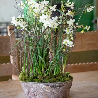Potted Paperwhites in Zinc & Bark Bowl Gift Set