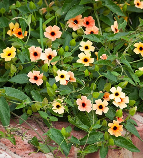 Thunbergia 'African Sunset'