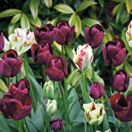 Perfect for Pots Tulip Collection