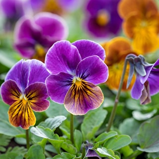 Viola cornuta 'Callisto Antique Shades' F1