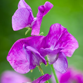 Sweet Pea 'Eclipse'