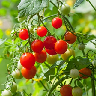 Tomato 'Microcherry'