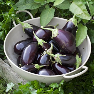 Aubergine 'Money Maker' No. 2