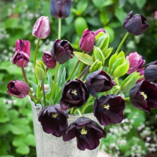 Green and Black Tulip Collection