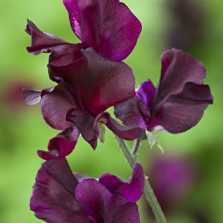 Sweet Pea 'Windsor'