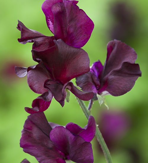 Sweetpeas Painting by Christopher Ryland