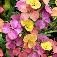 Erysimum 'Artist's Paintbox'