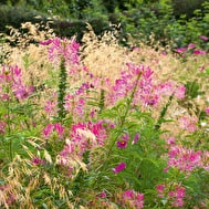 Cleome 'Cherry Queen' & 'Purple King' Mix
