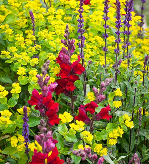 Antirrhinum and Euphorbia Collection