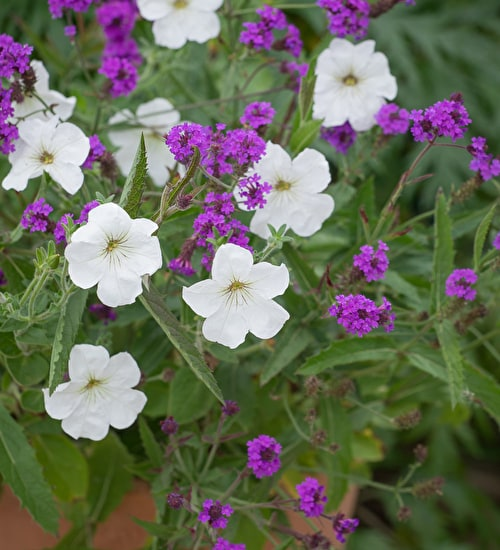 Verbena and Petunia Collection