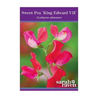 Sweet Pea 'King Edward VII'
