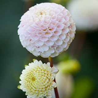 Dahlia 'Small World'